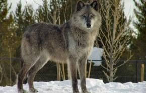 Expansión Lobo Ibérico