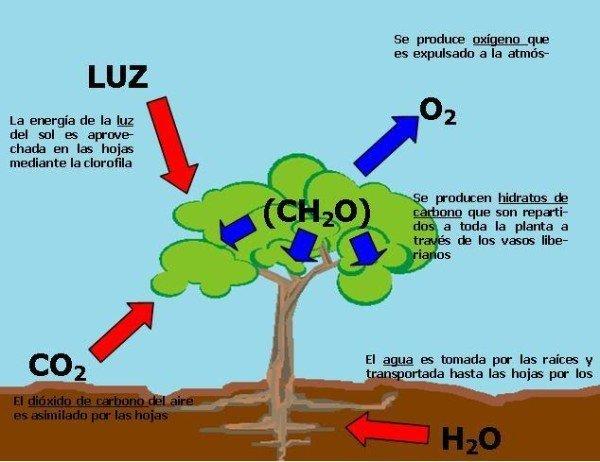 las-etapas-de-la-fotosintesis