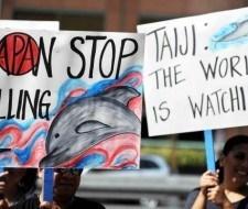 La matanza de delfines de Taiji, Japón
