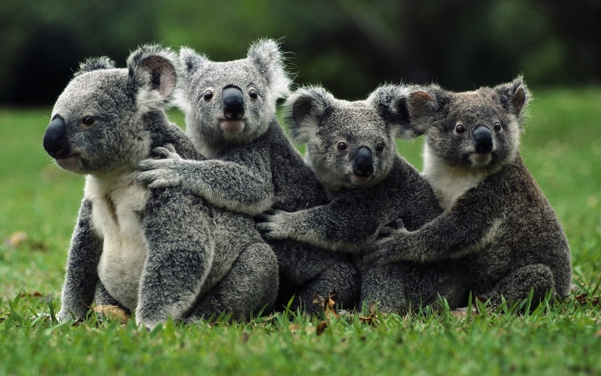 Koalas de Queensland