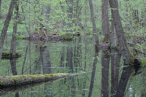 Bosque De Bialowieza El Ultimo Bosque Virgen Europeo Elblogverde Com