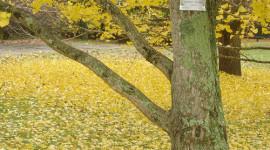 Los árboles más magníficos del mundo: Ginkgos