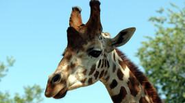 Las jirafas son seis especies, dos de ellas están al borde de la extinción