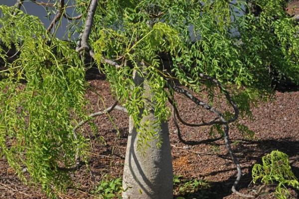 Moringa árbol