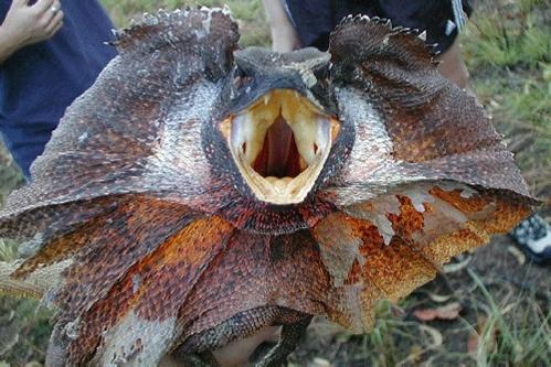 animales-raros-del-mundo-lagarto-volador