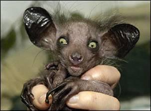 animales-raros-del-mundo-lemur-primate-aye-aye-daubentonia-madagascarensis