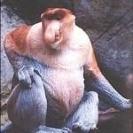 animales-raros-del-mundo-mono-nariz-larga-proboscis-monkey