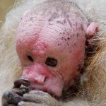 animales-raros-del-mundo-mono-uakari