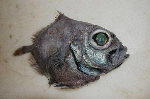 animales-raros-del-mundo-pez-black-oreo-dory-allocytus-niger