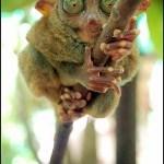 animales-raros-del-mundo-primate-tarsius-tarsier-tarsero-fantasma