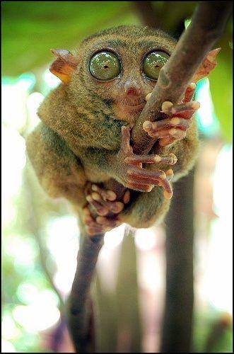 Primate Tarsius