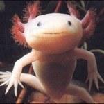 animales-raros-del-mundo-salamandra-axolotl-ajolote-ambystoma-mexicanum