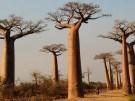 Baobabs. Los árboles más magnificos del mundo
