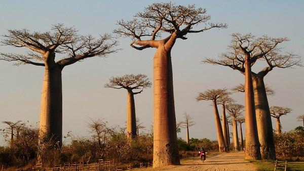Baobabs los rboles m s magnificos del mundo for Caracteristicas de arboles frondosos