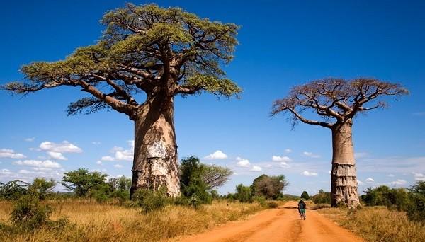 Ecosistema baobabs los rboles m s magnificos del mundo for Caracteristicas de arboles frondosos