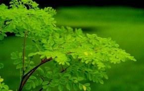 Moringa oleifera, un árbol de innumerables cualidades