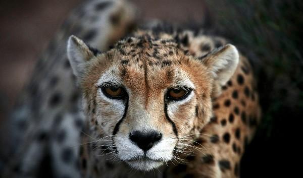 guepardo asiatico