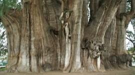 Los árboles más magníficos del mundo: Ahuehuete