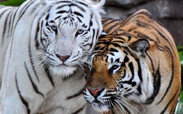 tigre bengala albino
