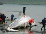Islandia vuelve a permitir la caza de ballenas