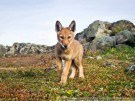 El lobo etíope al borde de la extinción