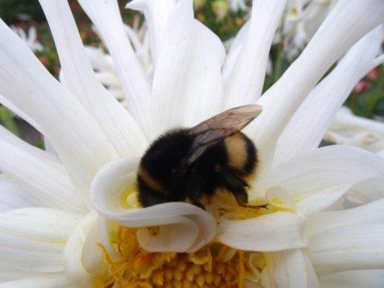 Bumble bee en flor