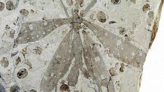 mosca-juracimbrophlebia ginkgofolia