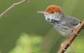 Una nueva especie de pájaro aparece en la ciudad