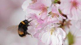 Como prevenir la extinción del abejorro