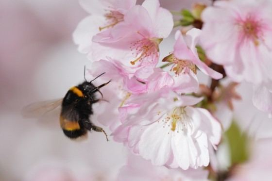 prevenir-extinción-abejorro