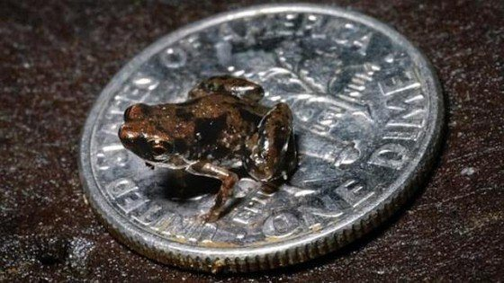 rana minúscula (Paedophryne amanuense)