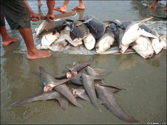 finning-tiburones