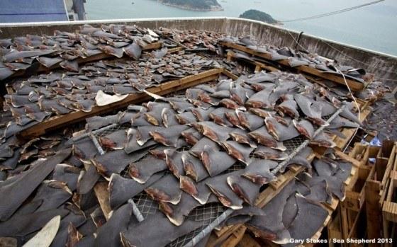 videos- crueldades-pescadores-aletas-tiburon