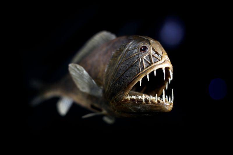 animales-raros-del-mundo-pez-fangtooth