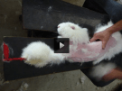 Maltrato animal en China a los conejos de Angora