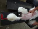 Maltrato animal en China a los conejos de Angora