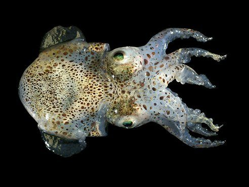 8-animales-que-brillan-en-la-oscuridad-criaturas-bioluminiscentes-calamar-bobtail