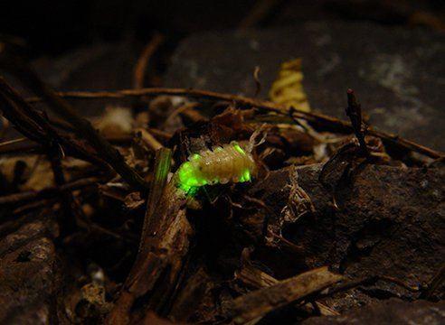 8-animales-que-brillan-en-la-oscuridad-criaturas-bioluminiscentes-luciernagas-2