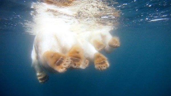 osos-polares-nadando-en-busca-de-hielo-pero-no-lo-encuentran-captura-video