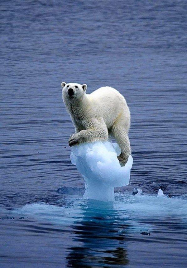osos-polares-nadando-en-busca-de-hielo-pero-no-lo-encuentran-oso-sobre-pequeño-bloque-de-hielo