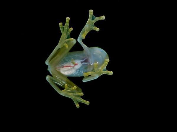 las-fotos-hermosa-rana-de-cristal