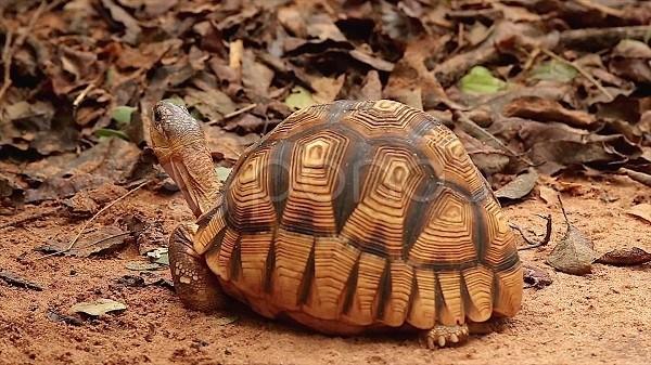 tortuga angonoka