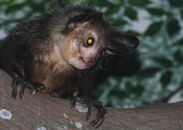 los-8-animales-mas-aterradores-del-mundo-aye-aye