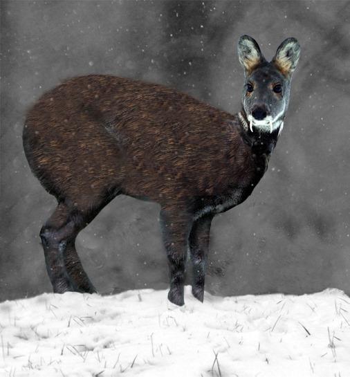 los-8-animales-mas-aterradores-del-mundo-ciervo-almizclero