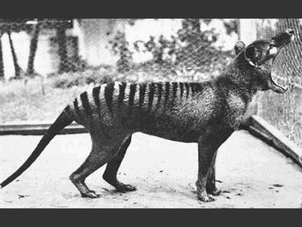 las-fotos-de-10-animales-que-ya-se-han-extinguido-marsupial