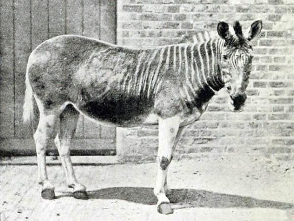 las-fotos-de-10-animales-que-ya-se-han-extinguido-quagga