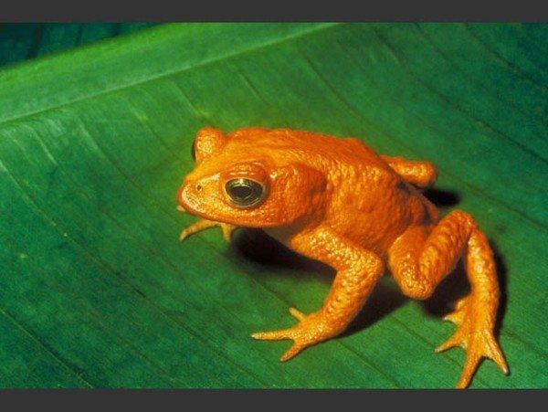 las-fotos-de-10-animales-que-ya-se-han-extinguido-sapo-dorado