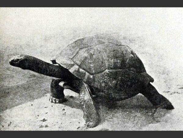las-fotos-de-10-animales-que-ya-se-han-extinguido-tortuga-gigante-de-las-seychelles