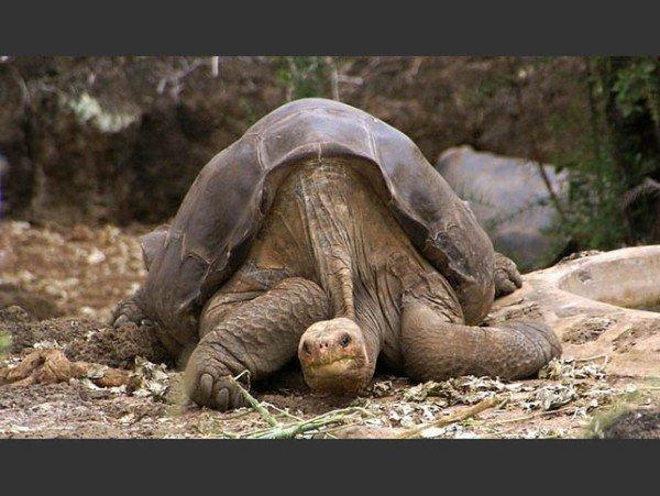las-fotos-de-10-animales-que-ya-se-han-extinguido-tortuga-gigante-de-pinta