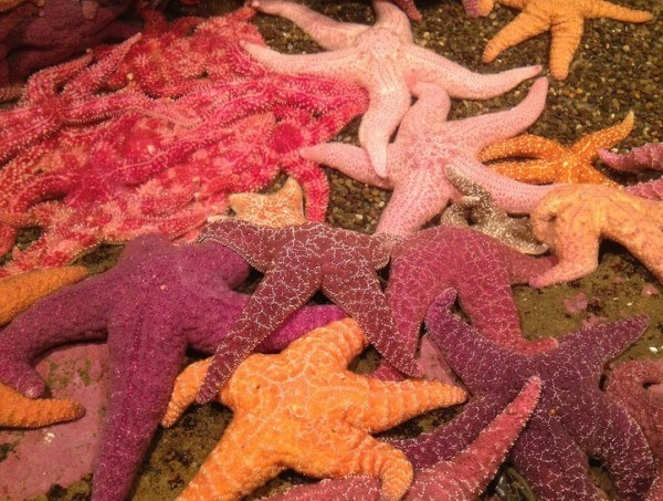 14-animales-de-color-rosa-que-te-van-a-sorprender-estrella-de-mar